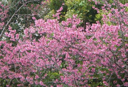 好美的櫻花祭